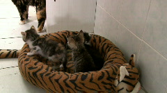 Three Baby Kittens in Bed Stock Footage