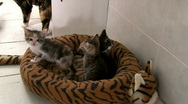 Stock Video Footage of Three Baby Kittens in Bed