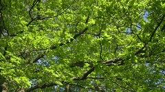 Oak tree foliage in Spring Stock Footage