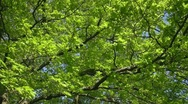 Stock Video Footage of Oak tree foliage in Spring