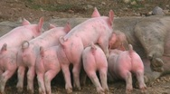 Lactation of piglets Stock Footage