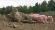 Stock Video Footage of Lactation of piglets
