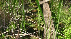 Frog / Toad in pond Stock Footage