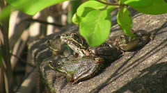 Toad on moss covered stone Stock Footage