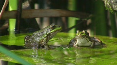 Frogs in pond jumping off water lily Stock Footage