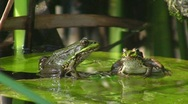 Stock Video Footage of Frogs in pond jumping off water lily
