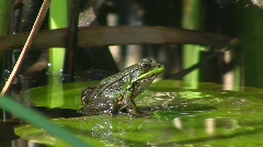 Frog jumping from water lily Stock Footage