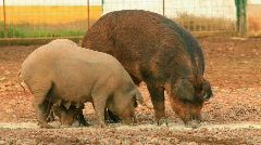 Pig farming  - stock footage