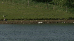 Common Gull flies in to join flock 2 Stock Footage