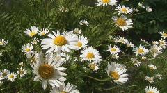 Marguerite in garden Stock Footage