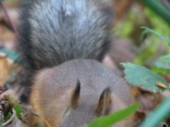 squirrel 2 - stock footage