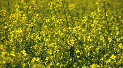 Yellow flowers of oil seed rape crop. Stock Footage