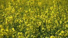 Yellow flowers of oil seed rape crop. Stock Footage