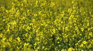 Stock Video Footage of Yellow flowers of oil seed rape crop.