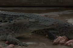 Crocodile eats CU Stock Footage