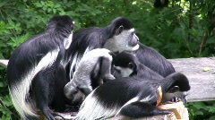 Startled Colobus Monkey Family Stock Footage