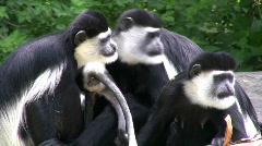 Grooming COLOBUS Monkey Family - stock footage