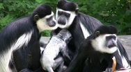 Stock Video Footage of Grooming COLOBUS Monkey Family