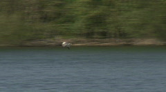Common Gull flies in to join flock Stock Footage