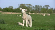 Stock Video Footage of Cute Nuzzling Lambs