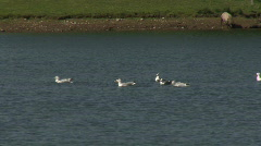 Common Gulls bathe in fresh water 2 Stock Footage