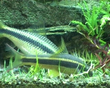 Siamese algae-eater Stock Footage