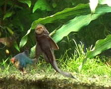 Tropical Catfish Stock Footage
