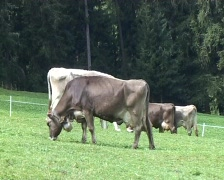 Grazing cows Stock Footage
