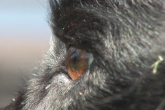 NTSC: Close up of dog Stock Footage