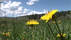 Yellow spring flowers of Taos canyon, New Mexico Stock Footage