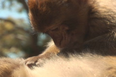 NTSC: Barbary apes Stock Footage