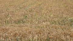 Gold grain Field Stock Footage