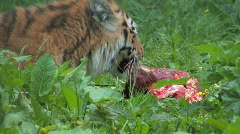 Tiger Feasts on Kill - stock footage