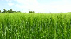 Winter barley Stock Footage