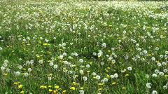 Dandelion clocks and flowers Stock Footage