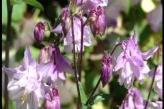 Lavender columbines Stock Footage