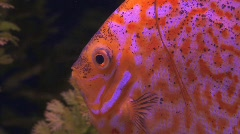 Aquarium Discus Fish Stock Footage