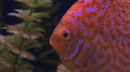 Stock Video Footage of Aquarium Discus Fish