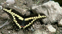 Yellow Butterfly Close Up Stock Footage
