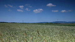 Corn Field with wind wave  Stock Footage