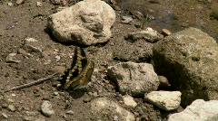 Yellow Butterfly Flapping Wings while on Rocks Stock Footage