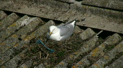 Seagul on nest Stock Footage