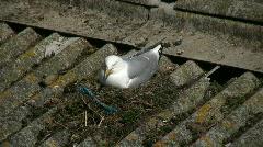 Seagul on nest - stock footage