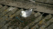 Seagul on nest Stock Footage
