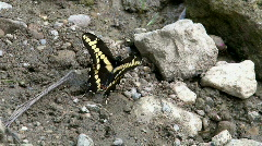 Yellow Butterfly Sitting on Rocks Stock Footage