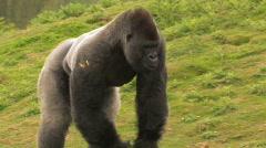Huge Gorilla Forages for Food - stock footage