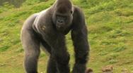 Huge Gorilla Forages for Food Stock Footage