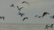 Flock Of Sea Gulls Stock Footage