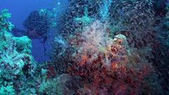 Teaming coral reef landscape plus scubadiver, Red Sea Stock Footage