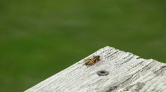 Yellow Jacket Wasp turns around and flies away Stock Footage